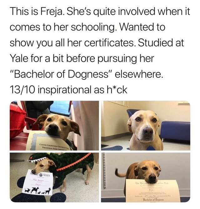 """wholesome meme - Dog breed - This is Freja. She's quite involved when it comes to her schooling. Wanted to show you all her certificates. Studied at Yale for a bit before pursuing her """"Bachelor of Dogness"""" elsewhere. 13/10 inspirational as h*ck CANINE COGNITON CENTERAte FRESHMAN YEAR CERT H WEEN MeJe achelar of Dayrs"""