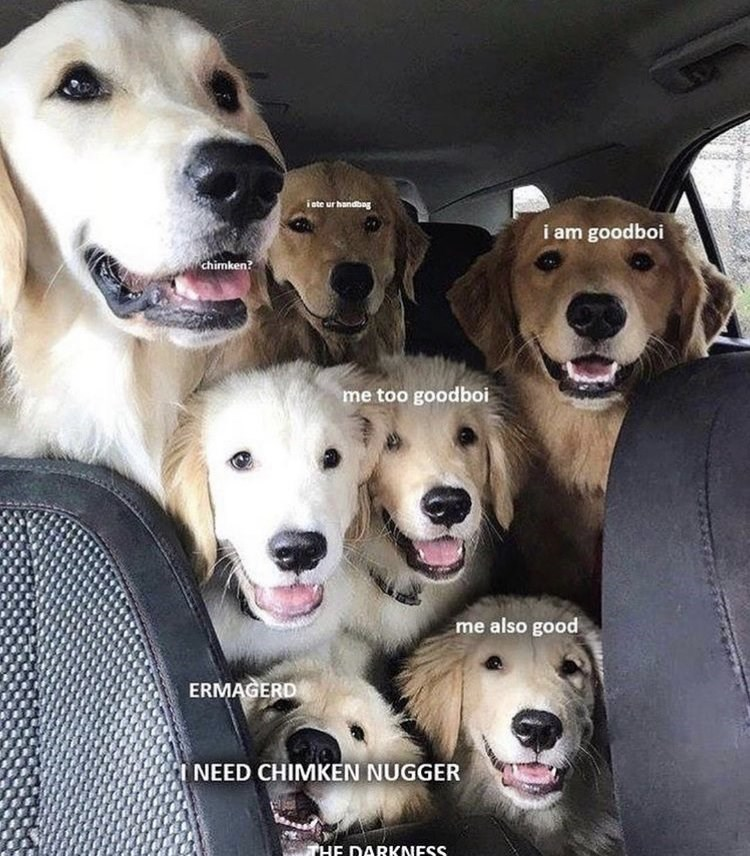 wholesome meme - Dog - i ste ur handbag i am goodboi chimken? me too goodboi me also good ERMAGERD NEED CHIMKEN NUGGER HE DARKNESS