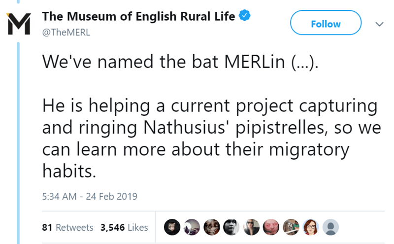 Text - MThe Museum of English Rural Life Follow @THEMERL We've named the bat MERLin (..) He is helping a current project capturing and ringing Nathusius' pipistrelles, so we can learn more about their migratory habits. 5:34 AM - 24 Feb 2019 81 Retweets 3,546 Likes