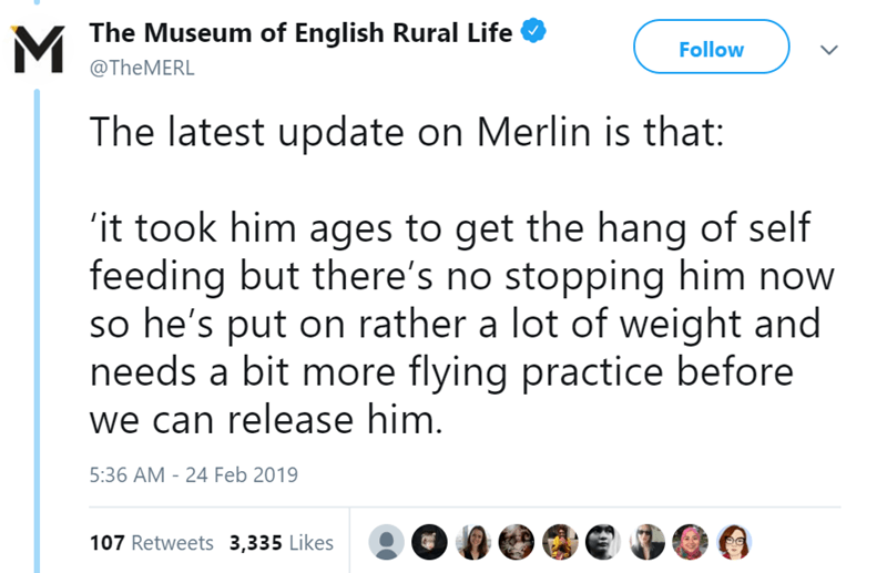 Text - The Museum of English Rural Life Follow @TheMERL The latest update on Merlin is that: it took him ages to get the hang of self feeding but there's no stopping him now so he's put on rather a lot of weight and needs a bit more flying practice before we can release him. 5:36 AM - 24 Feb 2019 107 Retweets 3,335 Likes >