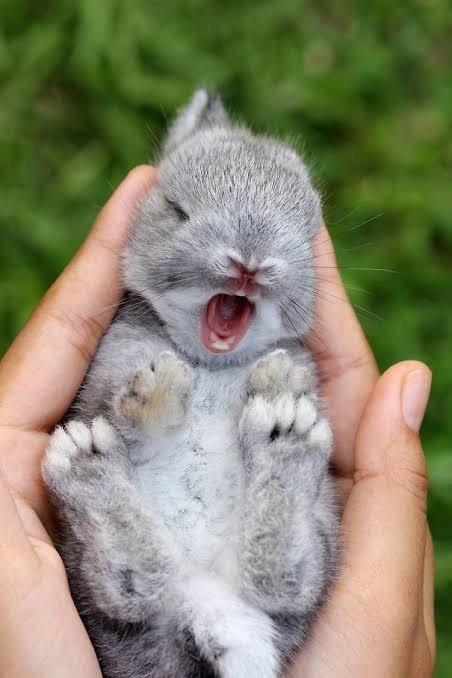 cute baby bunny yawning
