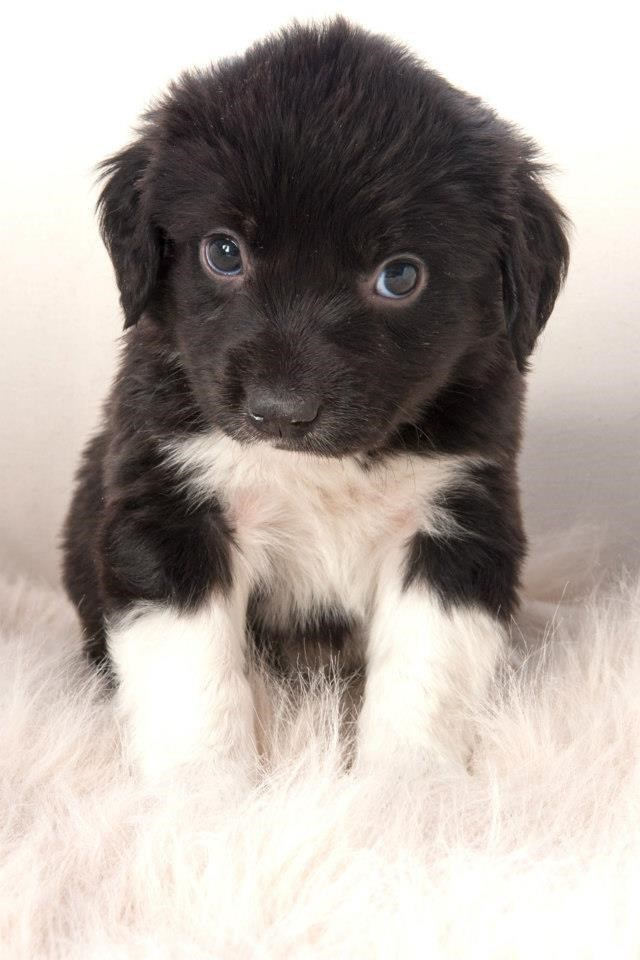 cute black and white puppy with floppy ears