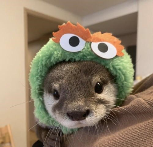 cute pic of an otter wearing an oscar the grouch hat