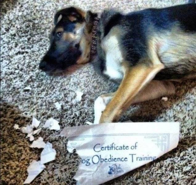 German shepherd dog - Certificate of og Obedience Training