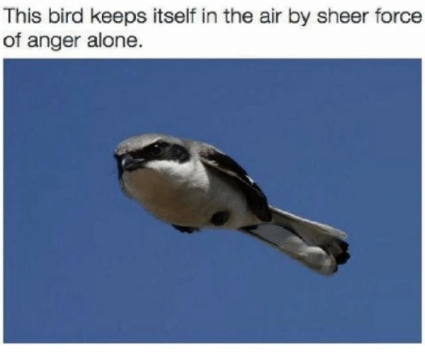 Bird - This bird keeps itself in the air by sheer force of anger alone