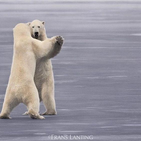 Polar bear - FRANS LANTING