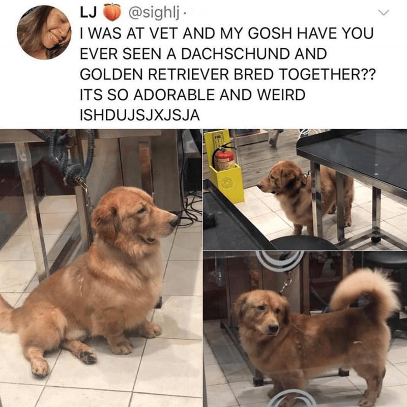 dachshund crossed with golden retriever dog meme
