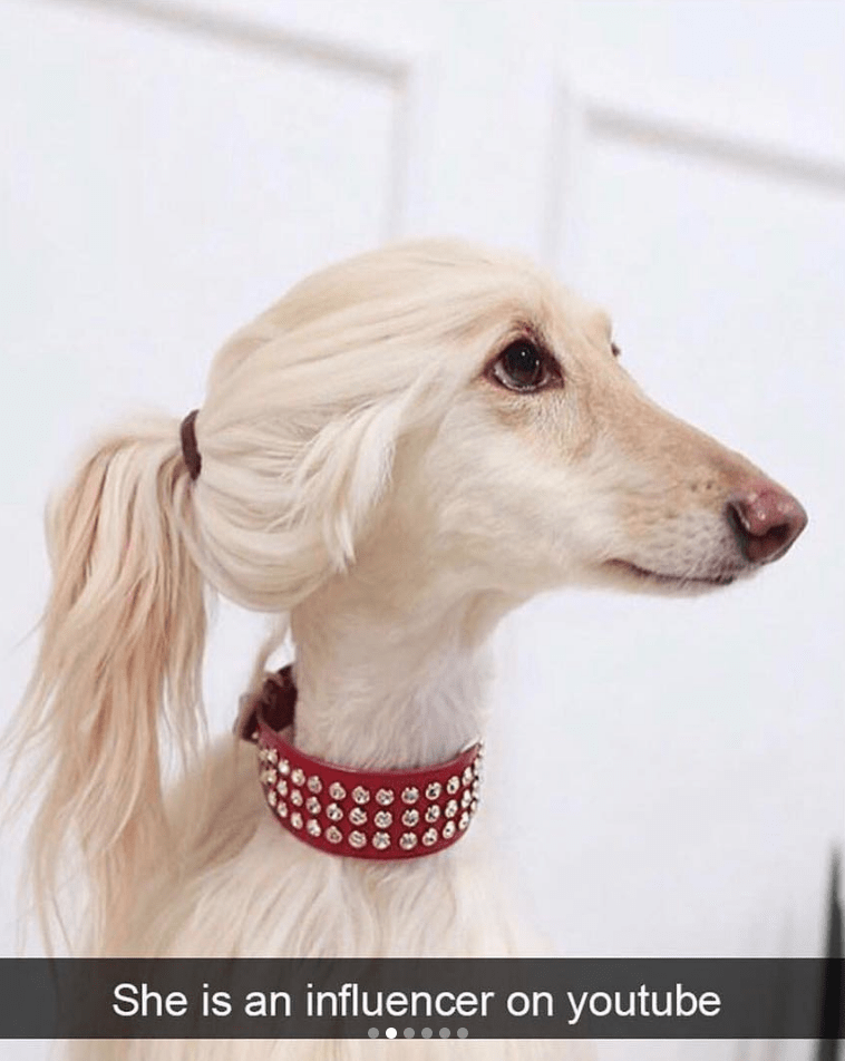 white dog with ponytail and red choker collar looks like influencer dog meme