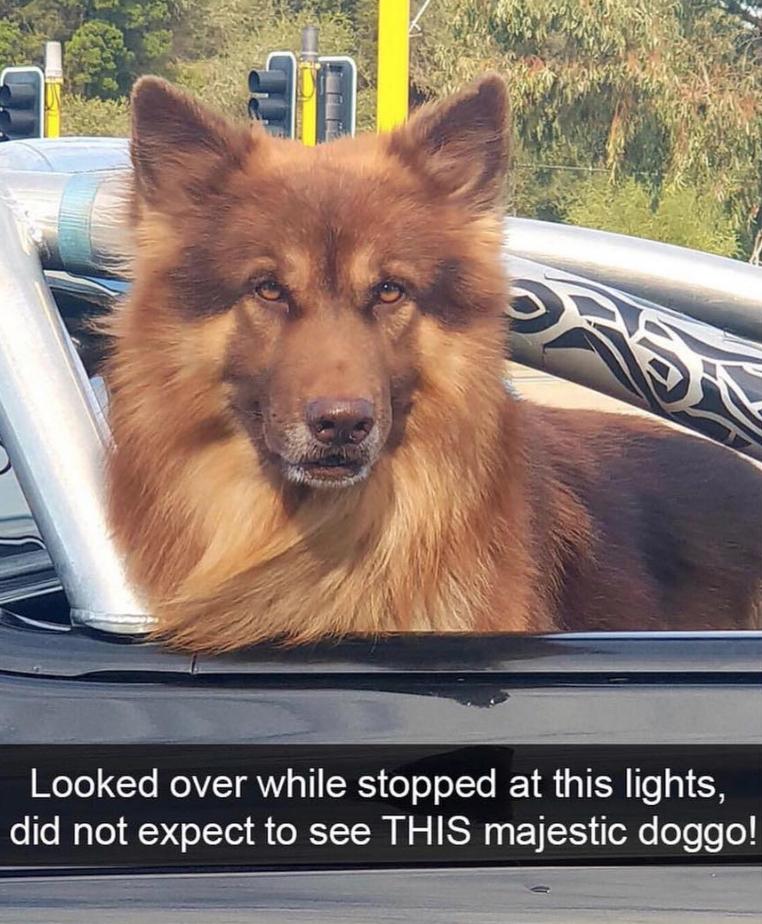 majestic brown dog in car at traffic lights dog meme