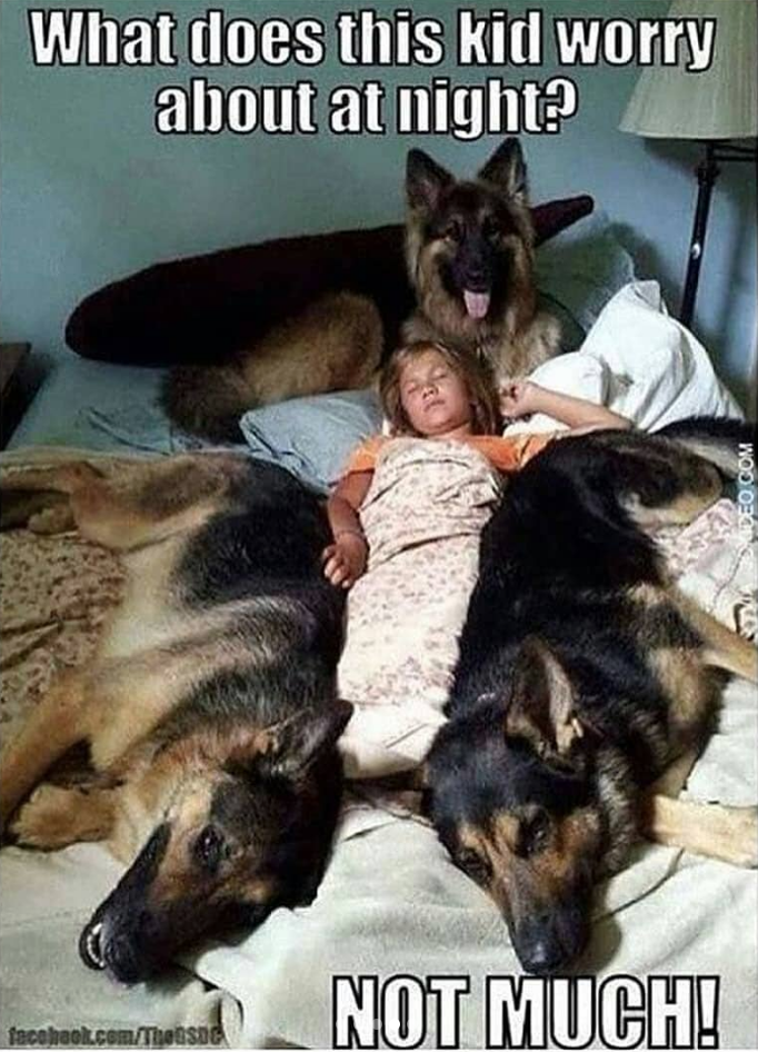 girl lying on bed surrounded by three big german shepherd dogs lying down dog meme