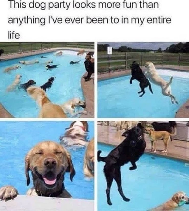 many dogs swimming in a pool having dog party dog meme