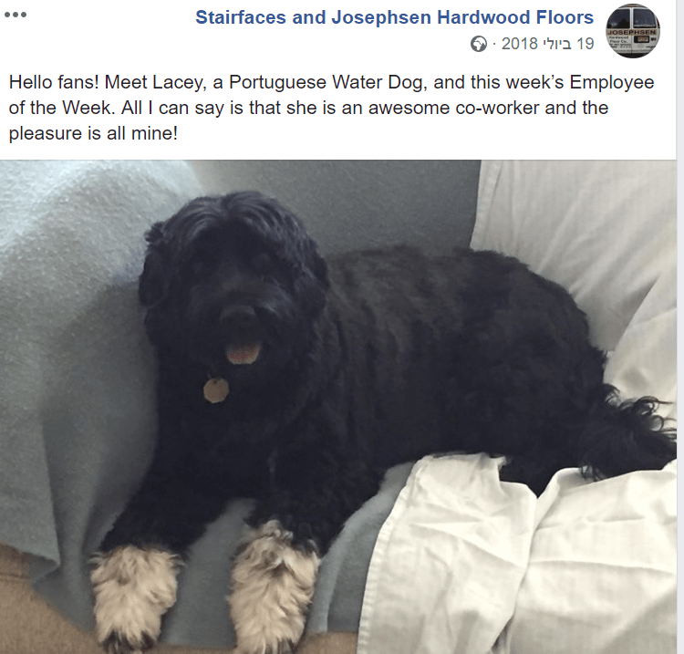 Dog - Stairfaces and Josephsen Hardwood Floors JOSEPHSEN 19 לי 2018מ PCe Hello fans! Meet Lacey, a Portuguese Water Dog, and this week's Employee of the Week. All I can say is that she is an awesome co-worker and the pleasure is all mine!