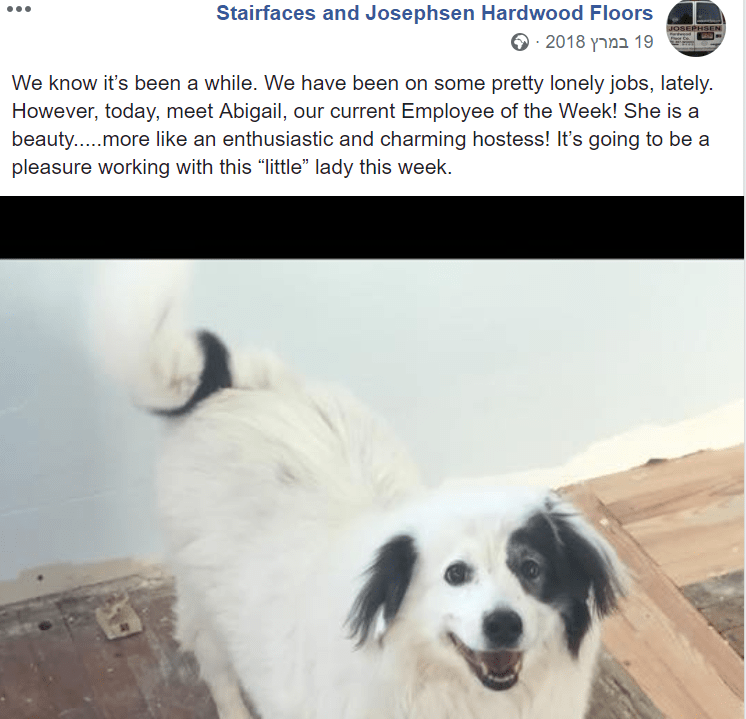 """Dog - Stairfaces and Josephsen Hardwood Floors JOSEPHSEN 19 במרץ 2018 מ We know it's been a while. We have been on some pretty lonely jobs, lately. However, today, meet Abigail, our current Employee of the Week! She is a beauty.....more like an enthusiastic and charming hostess! It's going to be a pleasure working with this """"little"""" lady this week"""