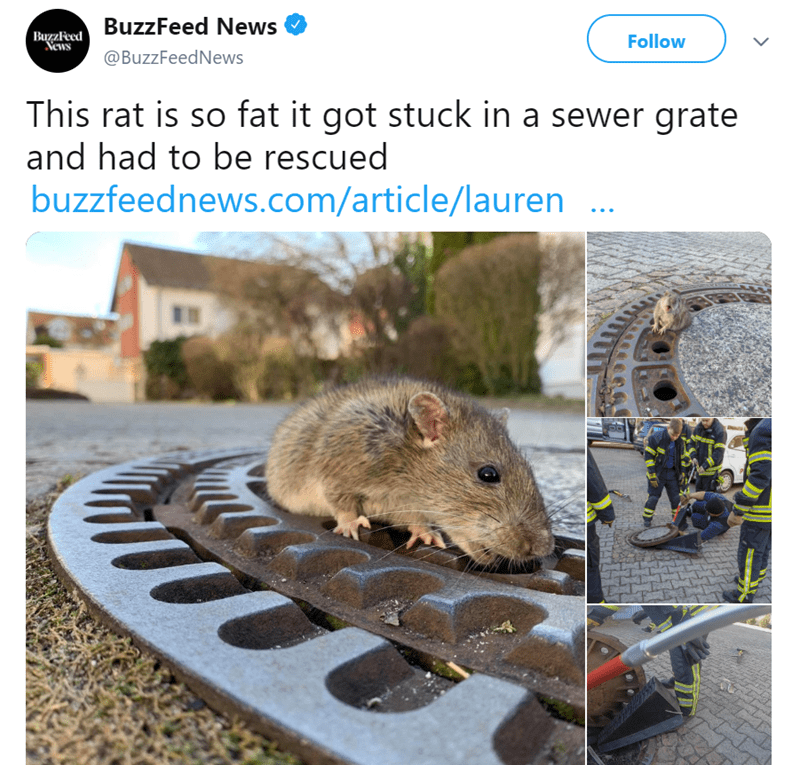 Rat - BageaFeed BuzzFeed News Vews Follow @BuzzFeedNews This rat is so fat it got stuck in a sewer grate and had to be rescued buzzfeednews.com/article/lauren