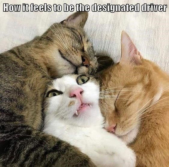 Cat - How it feels to be the designated driver