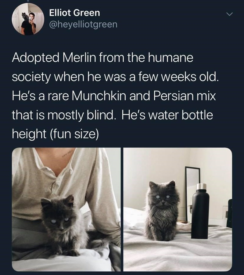 Text - Elliot Green @heyelliotgreen Adopted Merlin from the humane society when he was a few weeks old. He's a rare Munch kin and Persian mix that is mostly blind. He's water bottle height (fun size) >
