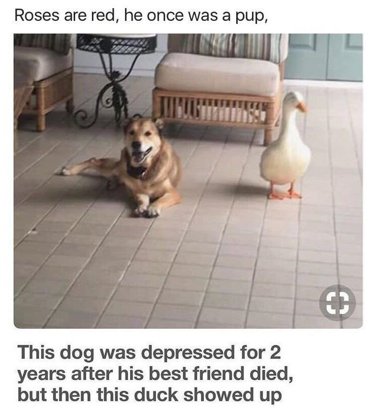Floor - Roses are red, he once was a pup, Иm €3 This dog was depressed for 2 years after his best friend died, but then this duck showed up