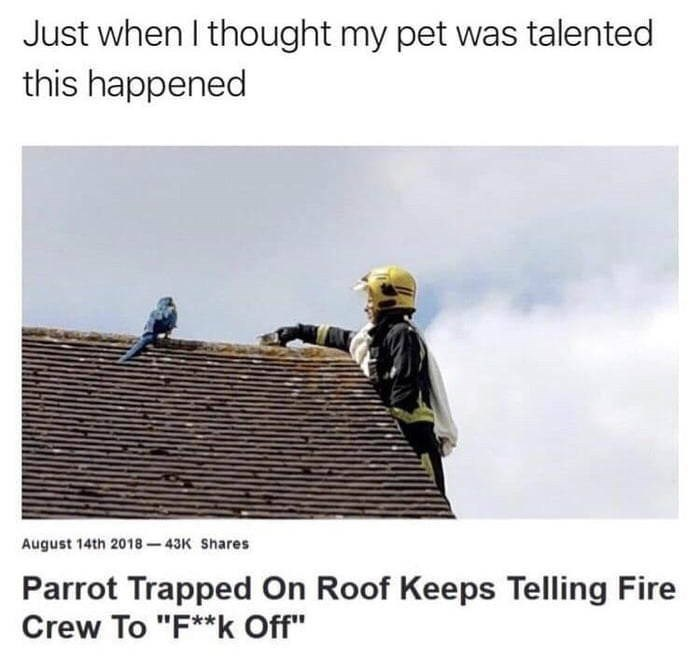 """meme - Roof - Just when I thought my pet was talented this happened August 14th 2018-43K Shares Parrot Trapped On Roof Keeps Telling Fire Crew To """"F**k Off"""""""