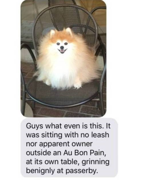 Dog - Guys what even is this. It was sitting with no leash nor apparent owner outside an Au Bon Pain, at its own table, grinning benignly at passerby