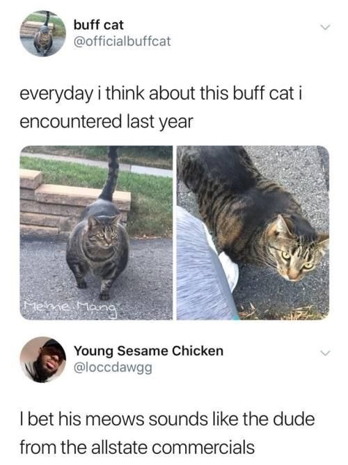 Tortoise - buff cat @officialbuffcat everyday i think about this buff cat encountered last year Mene Mana Young Sesame Chicken @loccdawgg I bet his meows sounds like the dude from the allstate commercials
