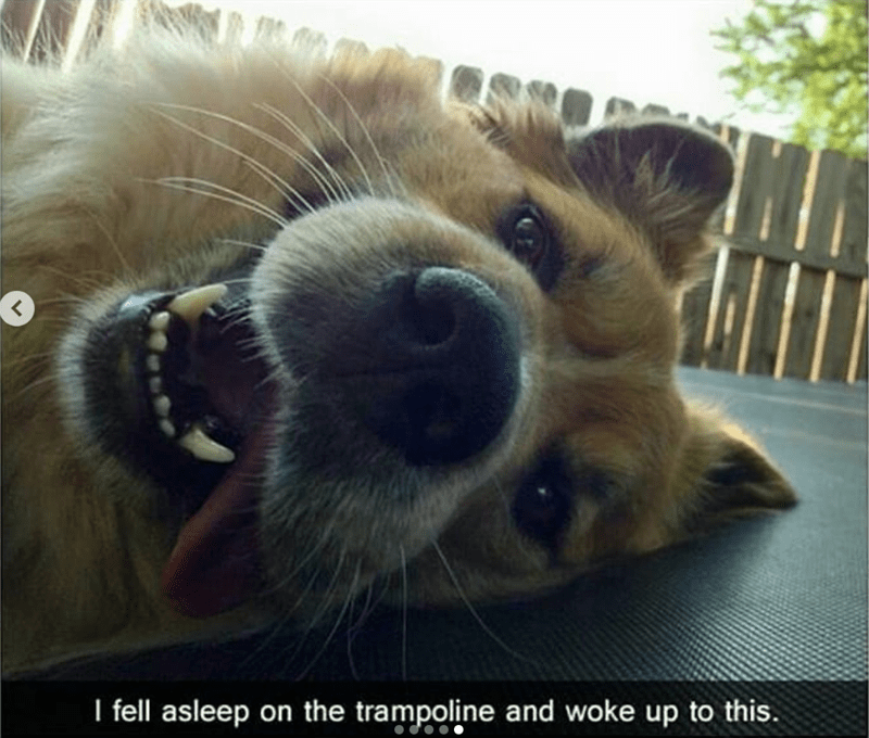 dog meme of a dog that is laying on a trampoline with its tongue out