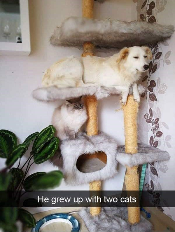dog meme of a dog that is resting on a cat tower