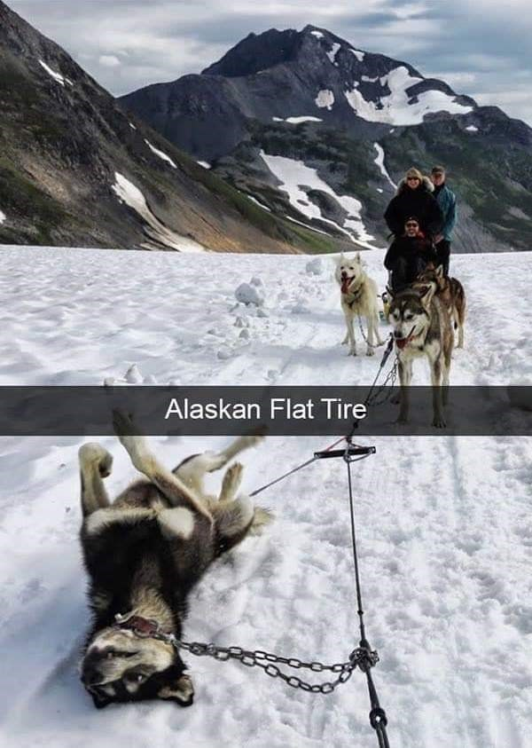 dog meme of a group of husky's sledding and one lays on its back
