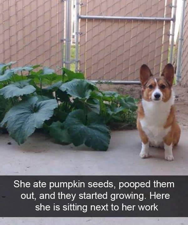 dog meme of a corgi that pooped out pumpkin seeds and they started growing