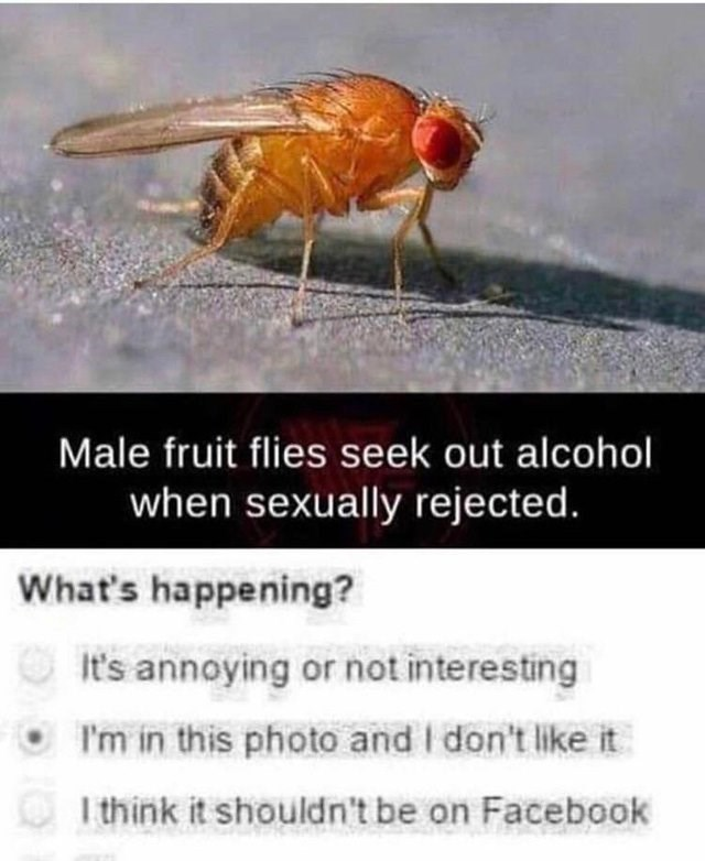 Insect - Male fruit flies seek out alcohol when sexually rejected. What's happening? It's annoying or not interesting I'm in this photo and I don't like it I think it shouldn't be on Facebook