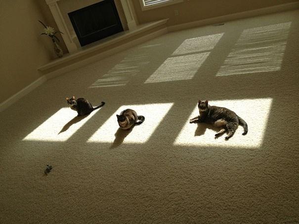 daylight savings nap - Boston terrier