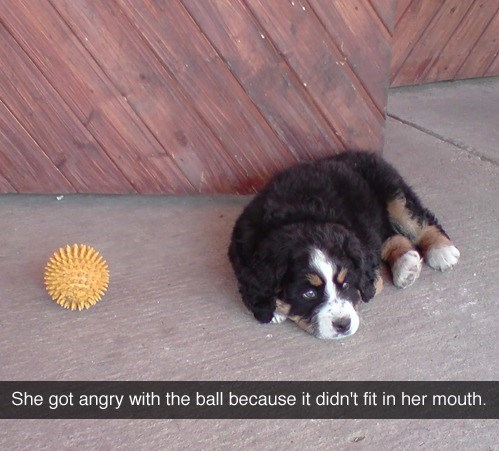 wholesome meme - Dog - She got angry with the ball because it didn't fit in her mouth.