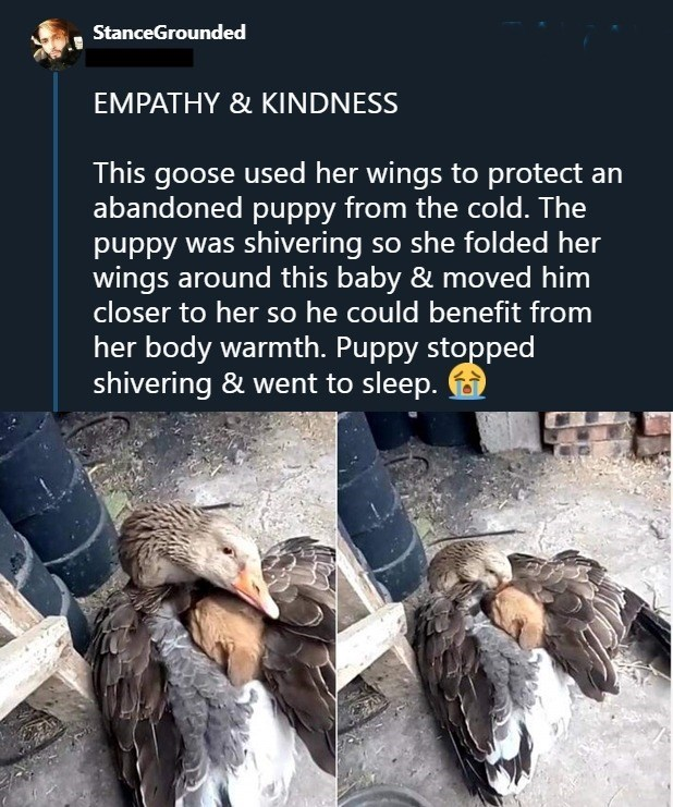 wholesome meme - Bird - StanceGrounded EMPATHY & KINDNESS This goose used her wings to protect an abandoned puppy from the cold. The puppy was shivering so she folded her wings around this baby & moved him closer to her so he could benefit from her body warmth. Puppy stopped shivering & went to sleep.