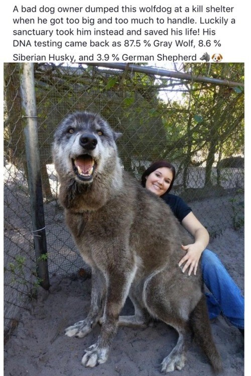 wholesome meme - Mammal - A bad dog owner dumped this wolfdog at a kill shelter when he got too big and too much to handle. Luckily a sanctuary took him instead and saved his life! His DNA testing came back as 87.5 % Gray Wolf, 8.6 % Siberian Husky, and 3.9 % German Shepherd