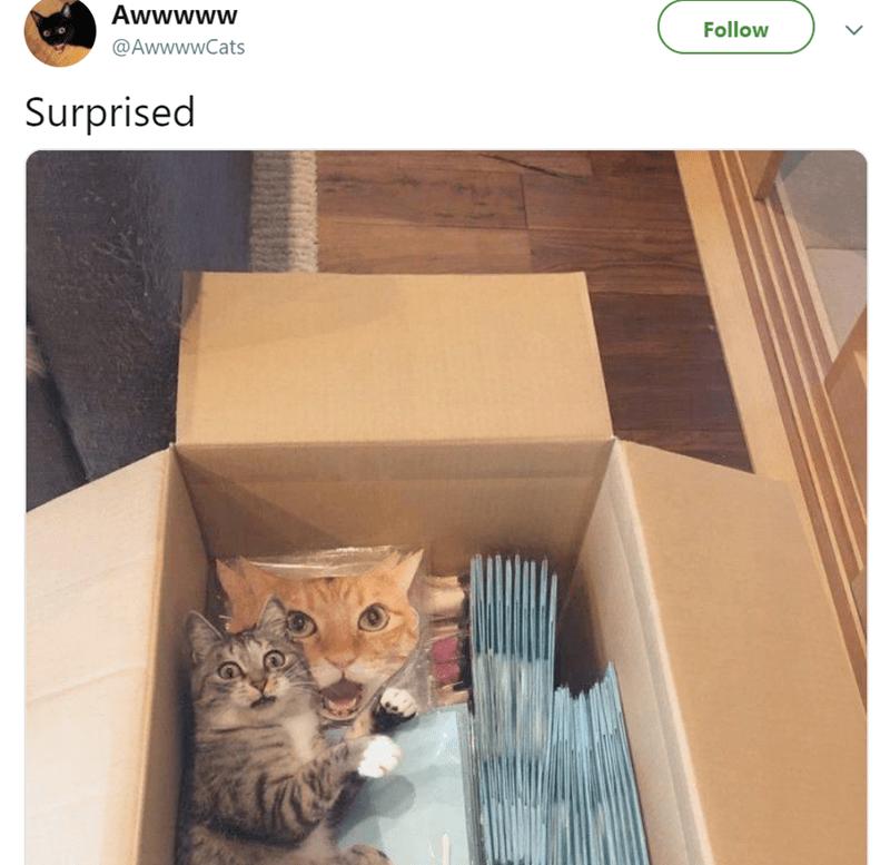 Cat - Awwwww Follow @AwwwwCats Surprised