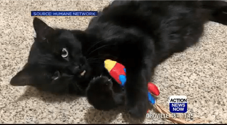 Cat - SOURCE HUMANE NETWORK САСТON NEWS NOW OROVILLE 48 1 15