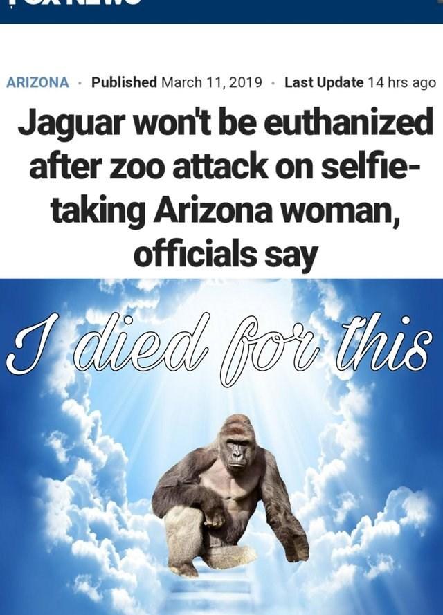 gorilla in the sky with heavens light shining on him Jaguar won't be euthanized after zoo attack on selfie- taking Arizona woman, officials say i died for this