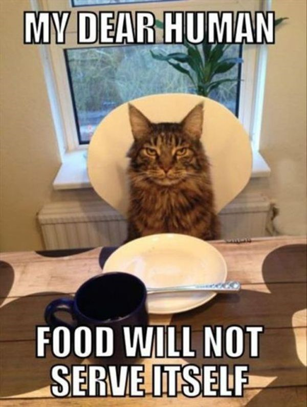 Cat - MY DEAR HUMAN FOOD WILL NOT SERVEITSELF