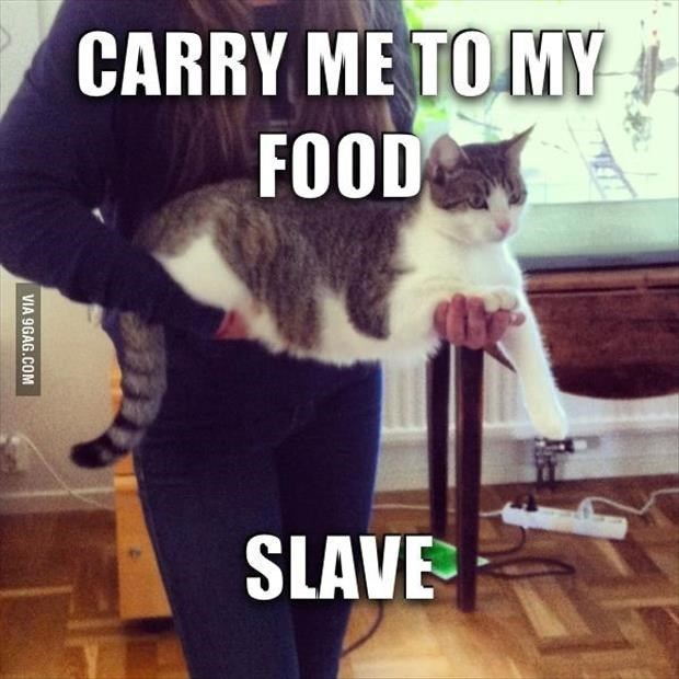 Cat - CARRY ME TO MY FOOD SLAVE VIA 9GAG.COM