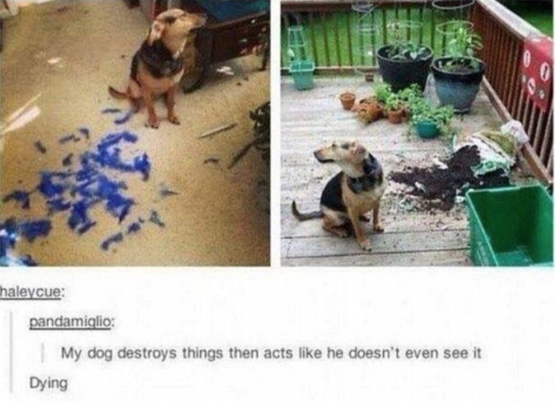 Canidae - haleycue: pandamiglio: My dog destroys things then acts like he doesn't even see it Dying