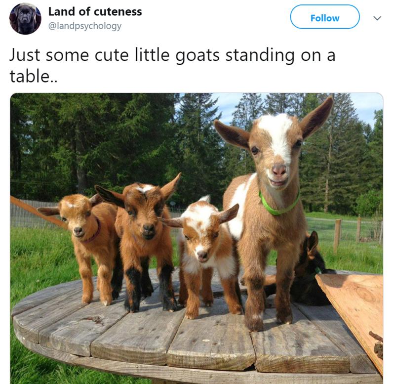 Goats - Land of cuteness Follow @landpsychology Just some cute little goats standing on a table..