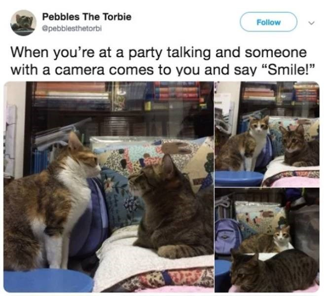 """Cat - Pebbles The Torbie Follow @pebblesthetorbi When you're at a party talking and someone with a camera comes to you and say """"Smile!"""""""