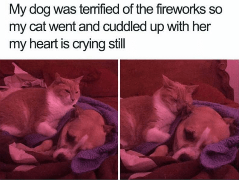 cat meme - Cat - My dog was terrified of the fireworks so my cat went and cuddled up with her my heart is crying still