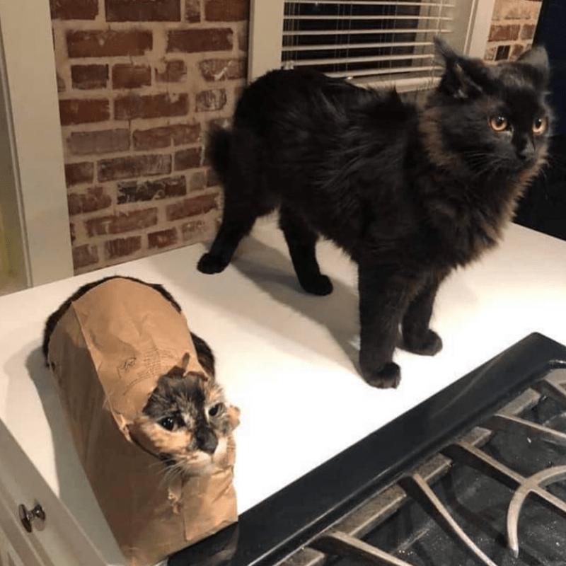 cat meme - Cat