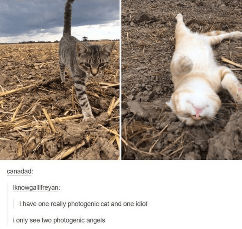 cat meme - Adaptation - canadad: iknowgallifreyan: I have one really photogenic cat and one idiot i only see two photogenic angels