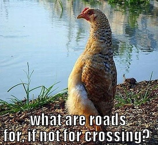 Bird - whatare roads for ifnot for crossing?