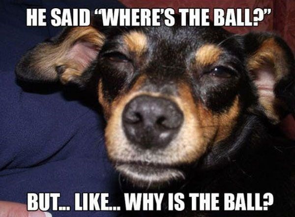 """Dog breed - HE SAID """"WHERE'S THE BALL?"""" BUT... LIKE...WHY IS THE BALL?"""