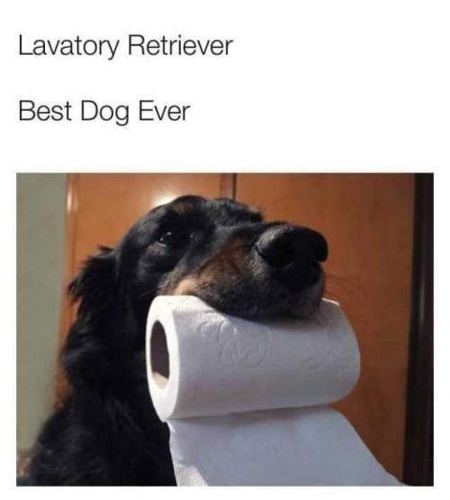 Dog breed - Lavatory Retriever Best Dog Ever