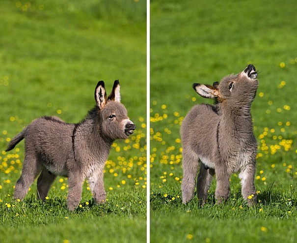 pics of a tiny donkey in a green field