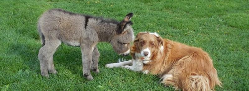 tiny donkey touching its head to a dog