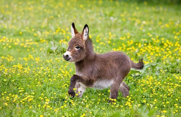 cute tiny donkey running in a field